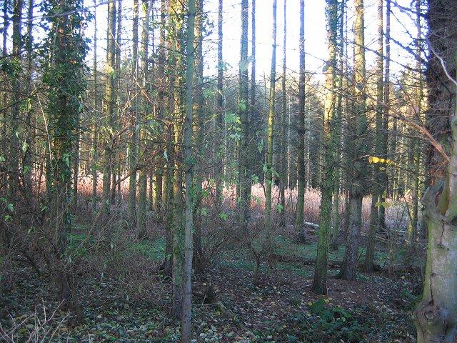 Kinneil Wood.