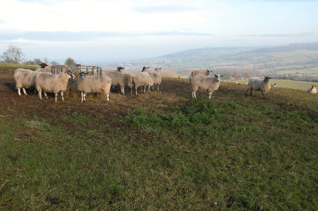Sheep at feeder near Goldwell Farm