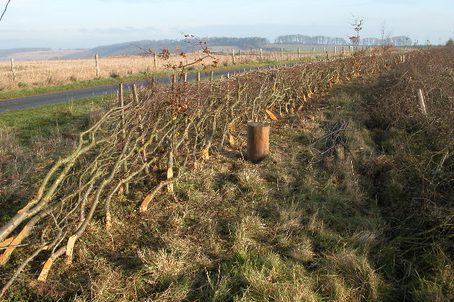 Hedge Laying between Roel Gate and Charlton Abbots