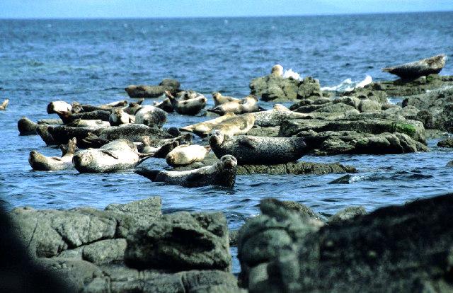 Seals on Kildonan rocks