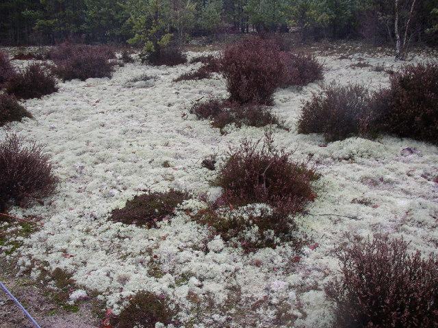 Lichen at Frensham Great Pond