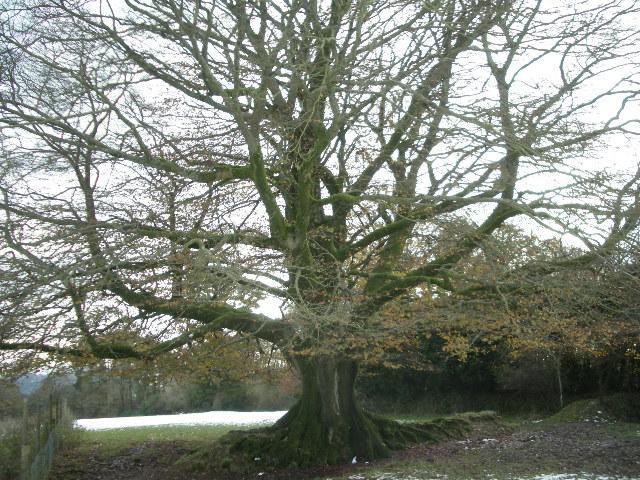 majestic hedge bank beech (Fagus Sylvatica)