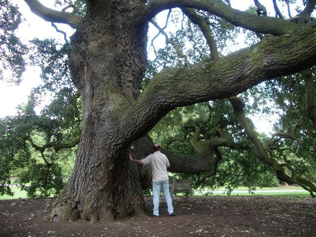 Lucombe Oak Kew