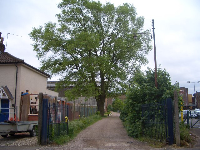 Large black poplar (Populus nigra unknown hybrid)