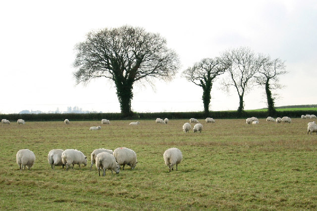 Sheep Grazing near Westover Farm