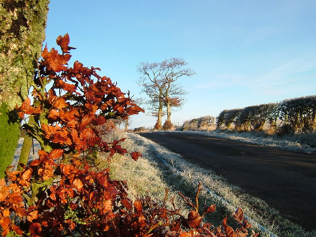 Copper Beech on a frosty morning