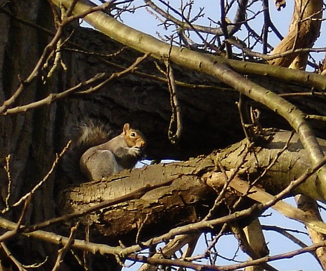 Squirrel in Mote Park, Maidstone