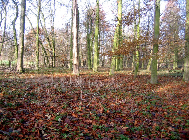Woodland belt, Wimpole, Cambs