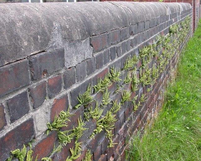 Ferns on wall, near Meltham Mills