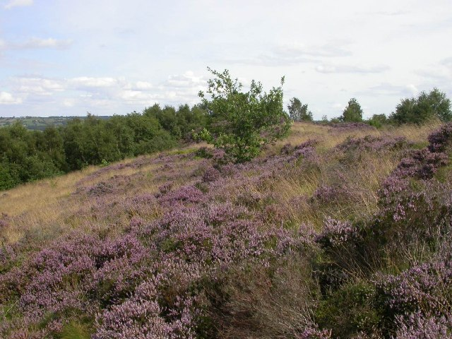 Heather west of Bank Wood, South Crosland