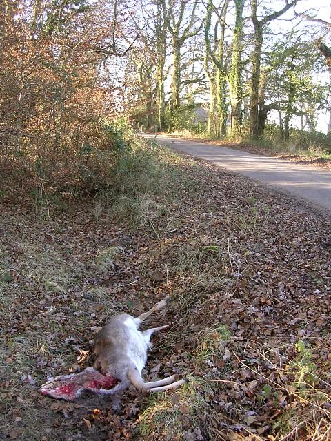 Dead deer alongside Pinkney Lane, New Forest
