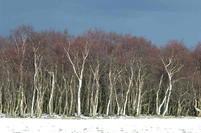 Winter Birches near Wood Nook, Honley