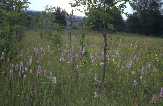 Wild orchids on former colliery site