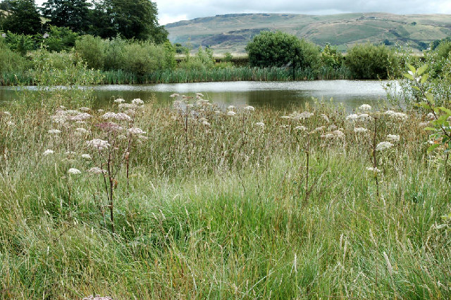 Wild Angelica by small reservoir west of Marsden