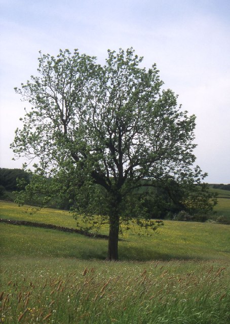 Solitary Ash tree near Barnside
