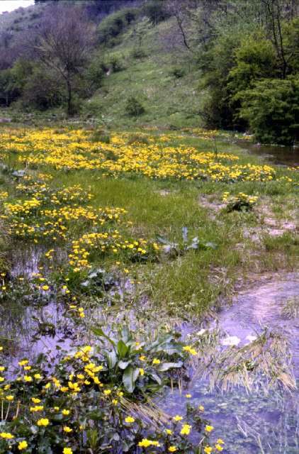 Marsh Marigold in Monk's Dale