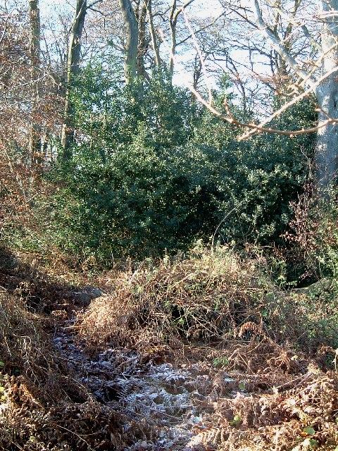 A Holly Bush in Bradenham Wood