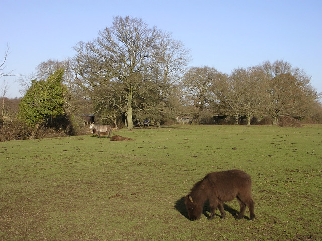 Ponies grazing on Cadnam Green
