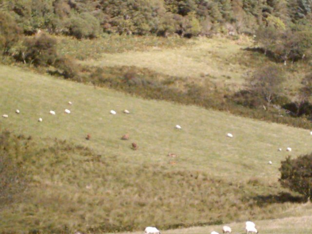 Red deer and sheep, south of Lagg, Isle of Jura