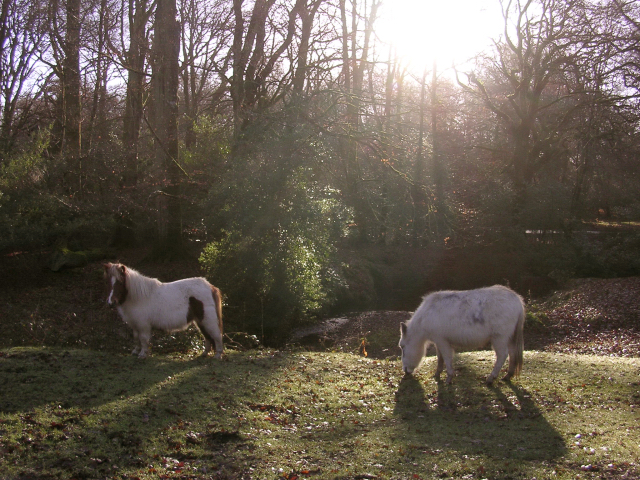 Miniature ponies grazing at Wittensford, New Forest
