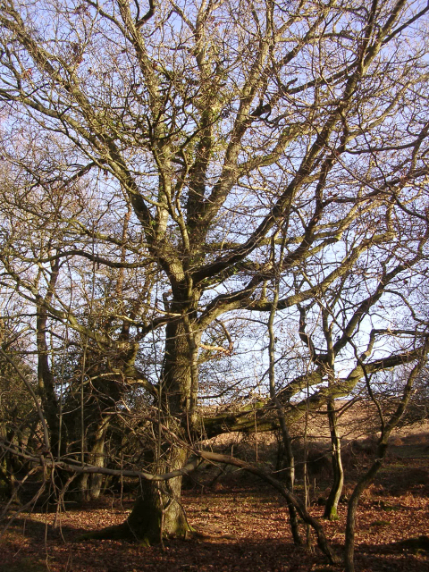 Winter oak at Ocknell Arch, New Forest