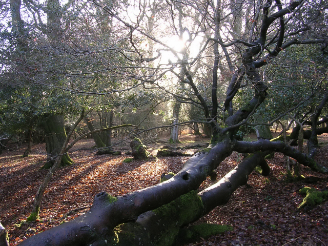 Winter woodland scene south of Ocknell Arch, New Forest