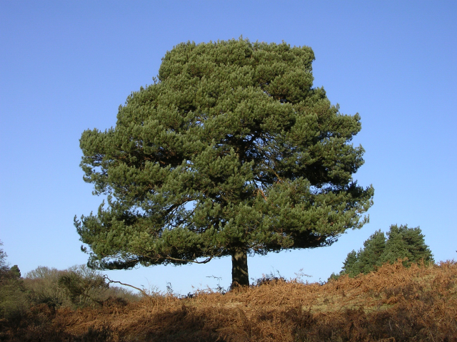 Scots Pine on the western slopes of Lucas Castle, New Forest
