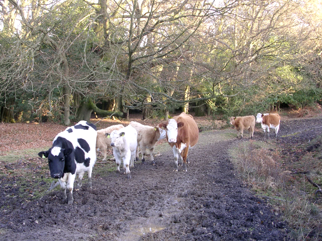 Cattle in Ringwood Ford Bottom, New Forest