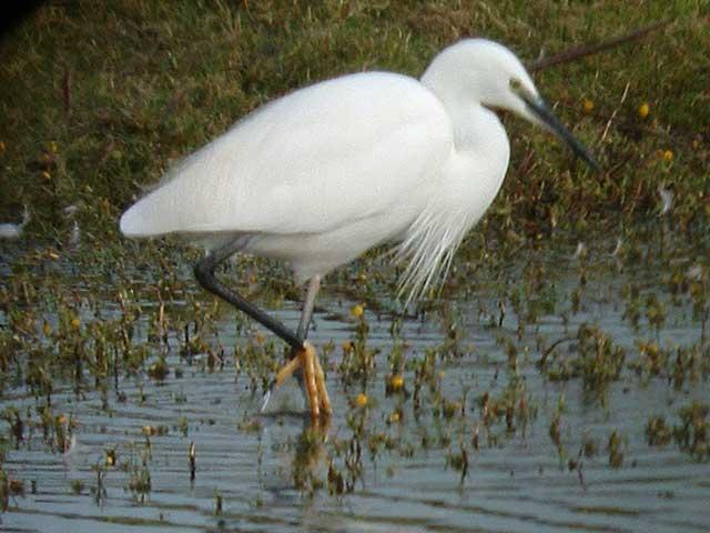 Little Egret, Bowling Green Marsh