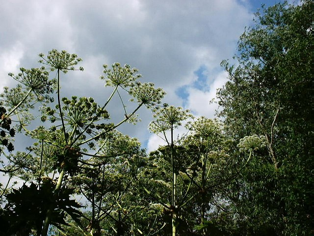 Giant hogweed near the Yeading Brook
