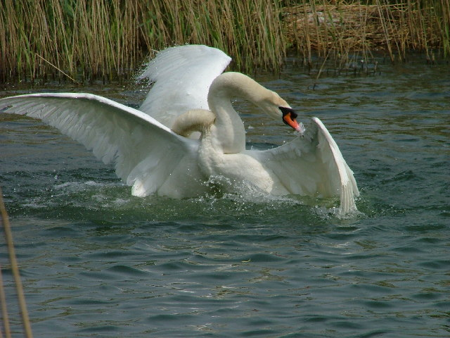Swan fight on Bedfont Lakes Country Park