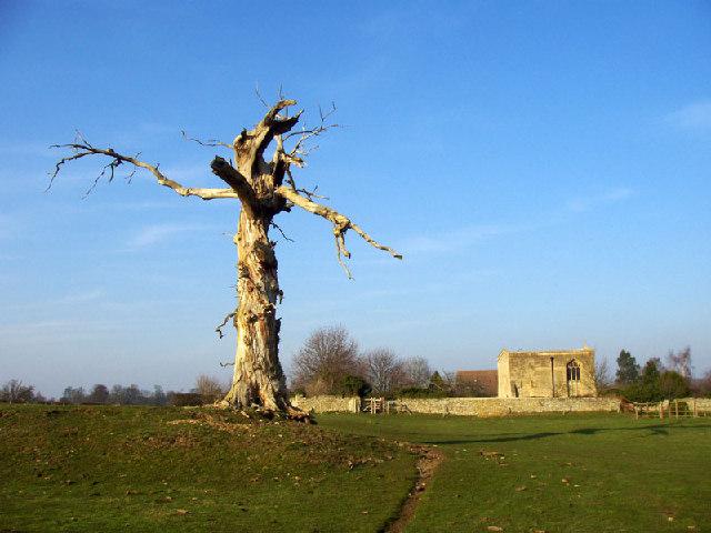 Old tree near Barnwell All Saints church