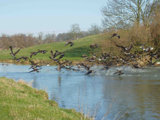 Geese flying off the river Nene.
