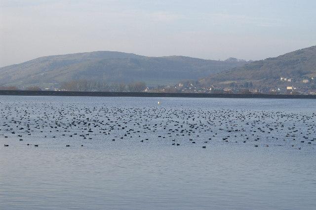 Cheddar Reservoir Birds
