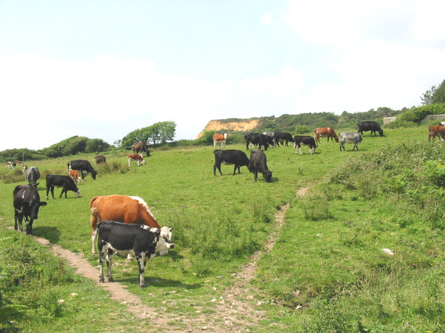 Cattle grazing at Westhay Farm