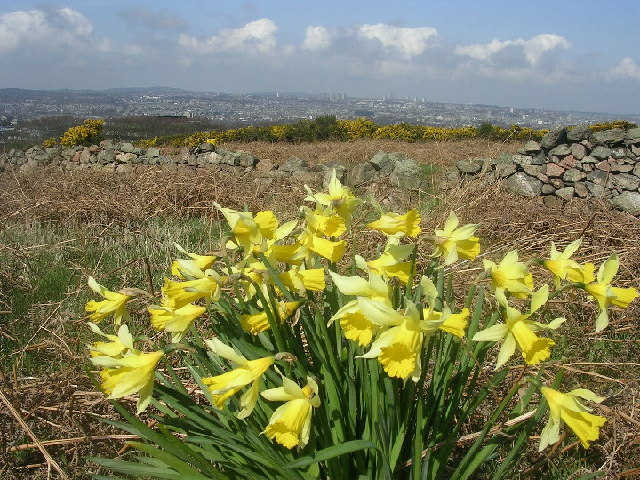 Wild Daffodils on Tullos Hill