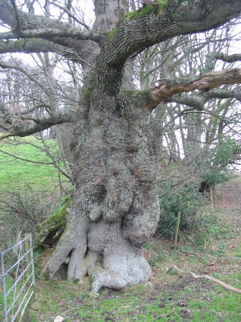 Ancient oak near Parnham