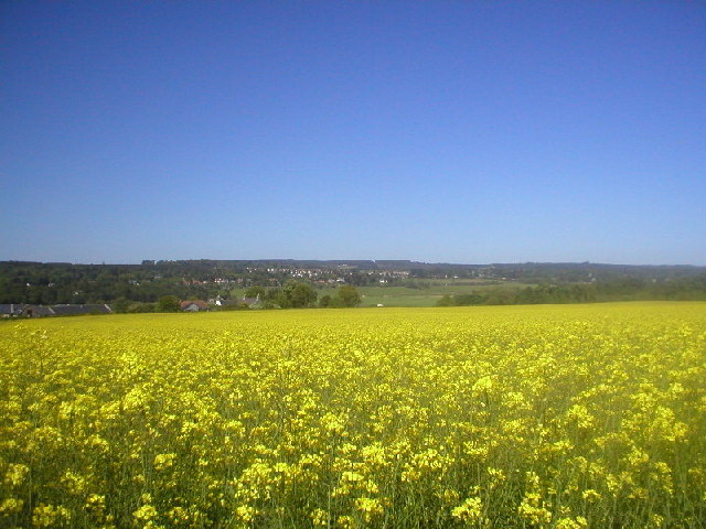 Fields of Oil Seed Rape at Maryculter
