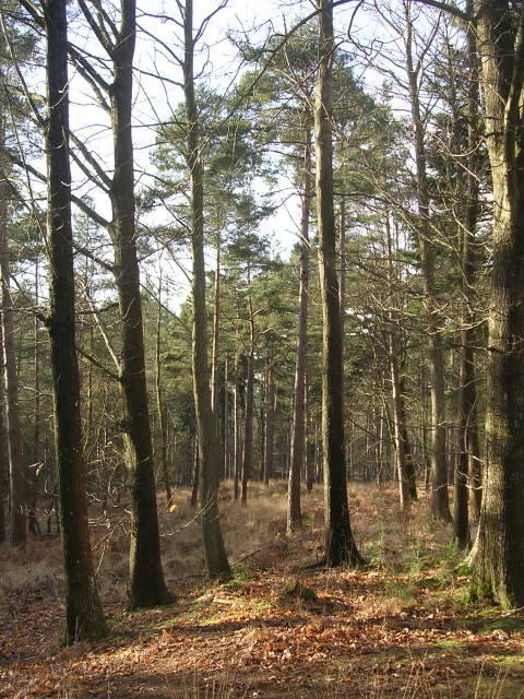 Oaks and Scots pine in the North Oakley Inclosure, New Forest
