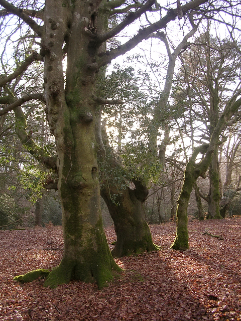 Beeches and holly in Mark Ash Wood, New Forest