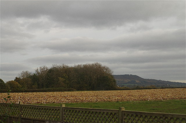 Spinney and harvested maize field
