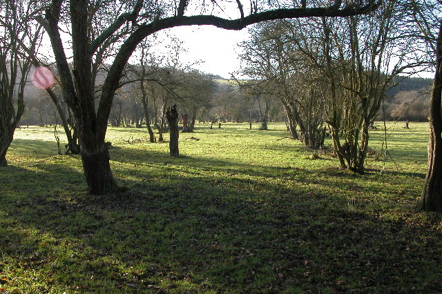 Old orchard at Suffield, near Checkley