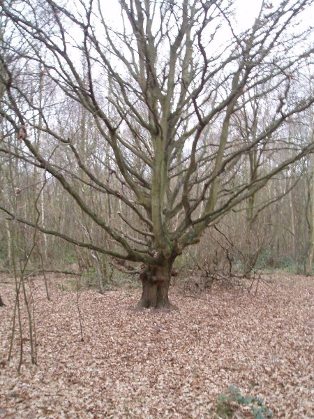 Tree in West End common