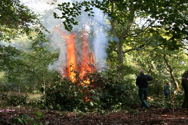 Rhododendron Clearance in Burnham Beeches