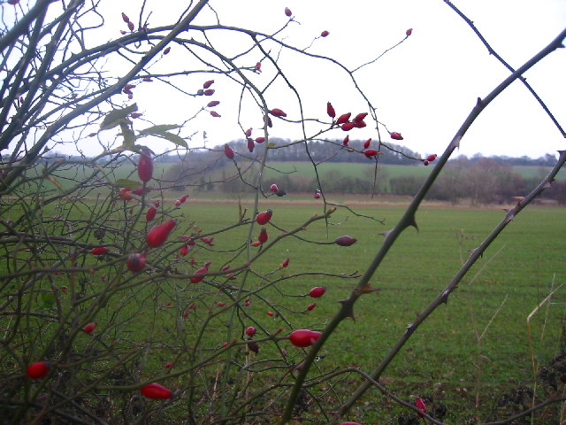 Rosehips with Barnacks Hill Wood beyond