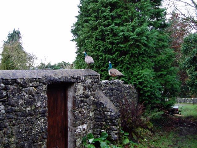 Peacocks in Clawthorpe
