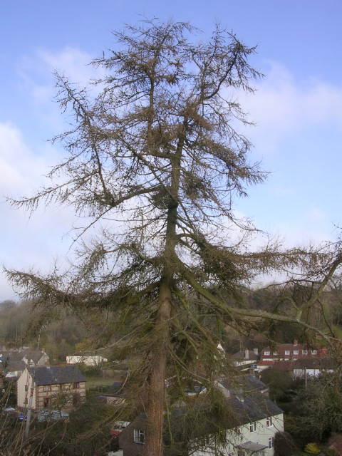 Number 1... the larch