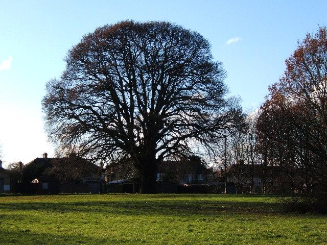Oak tree on edge of Hogsmill Open Space, West Ewell