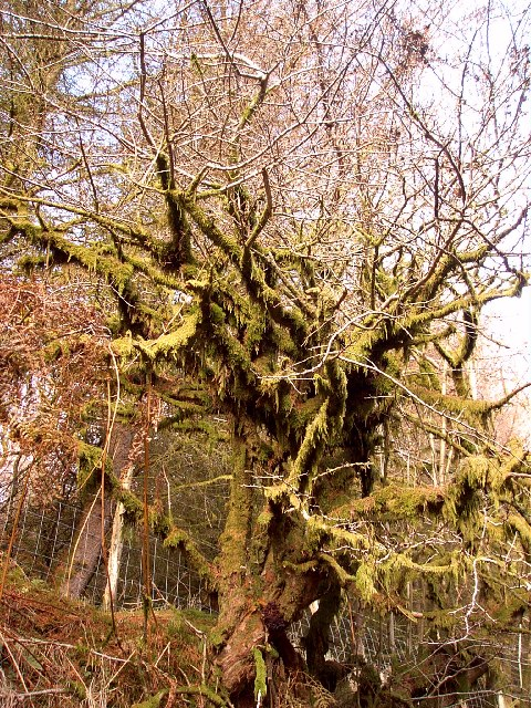 Mossy tree on the Roman Road from Dolygaer to Dyffryn Crawnon