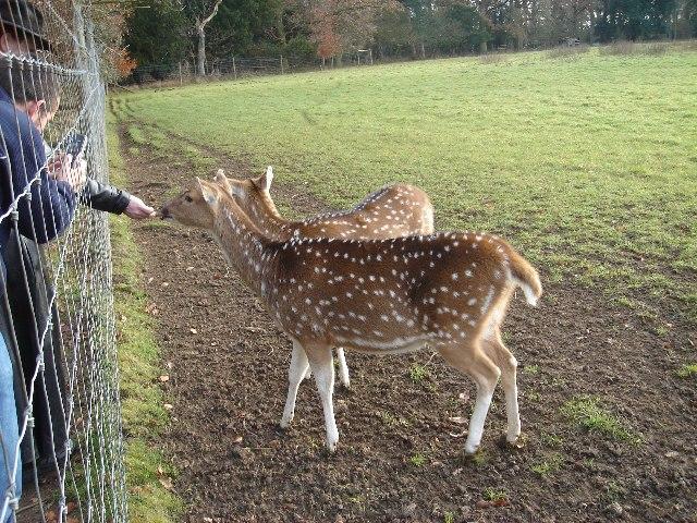 Hand feeding in Ickworth Park deer enclosure